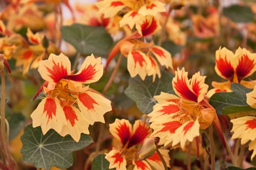 RHS-Chelsea-Flower-Show-Plant-of-the-Year-2013-Tropaeolum-Fruit-Salad-Flowerona