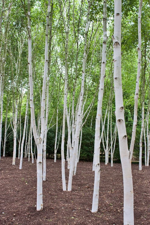 Silver birch trees like success for Silver birch trees for small gardens