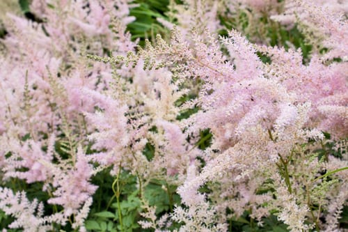 Anglesey-Abbey-Flowerona