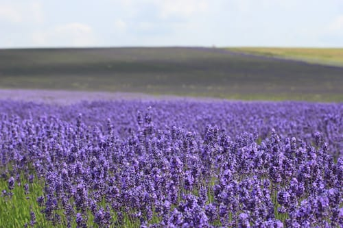 Belinda-Norrington-Wild-Acre-Lavender-Field