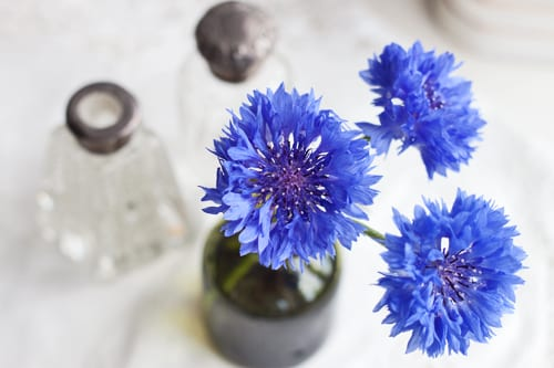 The Cornflower aka Centaurea cyanus…a striking, blue summer flower