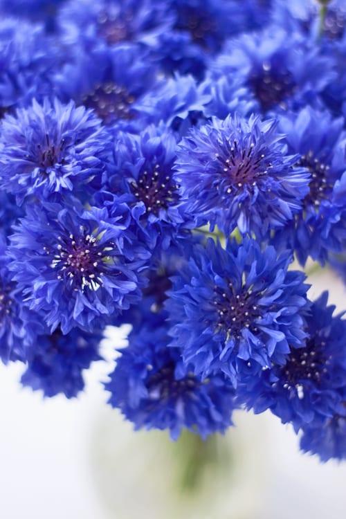 Blue-cornflowers-Flowerona