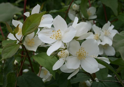 Flickr-Tom-Brandt-Philadelphus