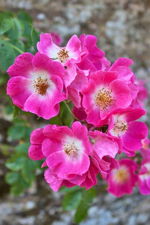 Flowerona-Loseley-Park-Rose