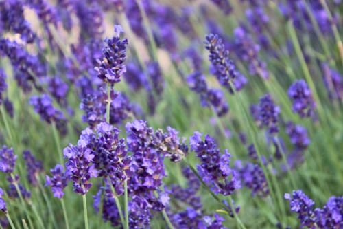 Loseley-Park-July-2013-Flowerona