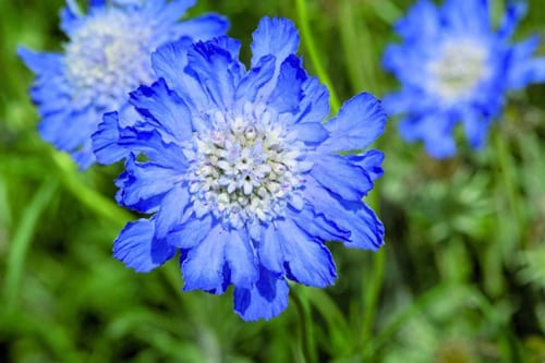 Garden Flowers: Scabiosa caucasica…also known as the Pincushion flower