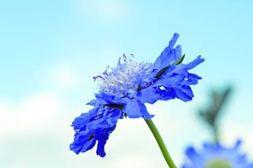 Muller-Seeds-scabiosa_caucasica_fama_deep_blue2