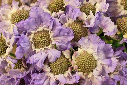 New-Covent-Garden-Flower-Market-Flowerona-Scabious