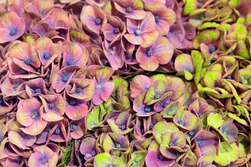New-Covent-Garden-Flower-Market-Hydrangeas-Flowerona