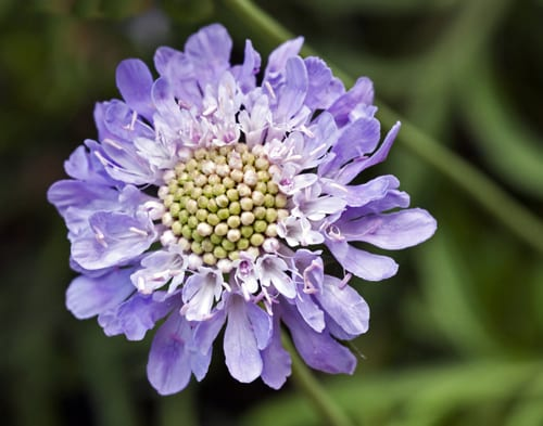 Scabiosa-caucasica-Flickr-Ron-Dunnington