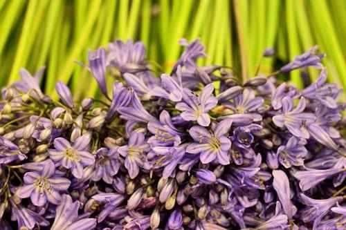 Blue-Agapanthus-Pratley-New-Covent-Garden-Flower-Market-Flowerona