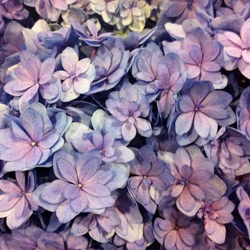 Blue-You-&-Me-Together-Hydrangea-Flowerona