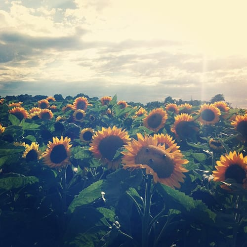 Field-of-sunflowers-Flowerona