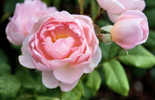 Garden-Rose-Flowerona