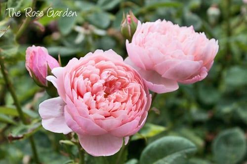 Hampton-Court-Palace-Gardens-Flowerona-1a