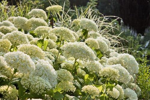 Garden Flowers: Spectacular Hydrangea arborescens 'Annabelle'