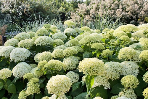 garden flowers spectacular hydrangea arborescens 39 annabelle 39 flowerona. Black Bedroom Furniture Sets. Home Design Ideas