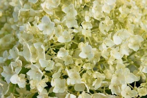 Hydrangea-arborescens-Annabelle-Flowerona-3