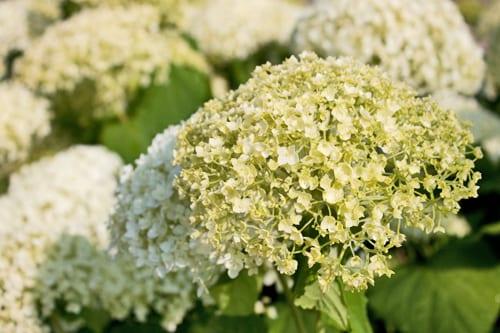 Hydrangea-arborescens-Annabelle-Flowerona-4