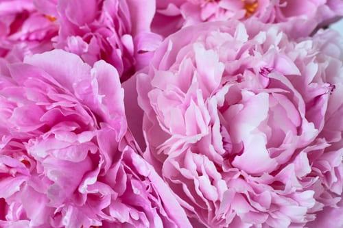 Pink-peonies-Flowerona