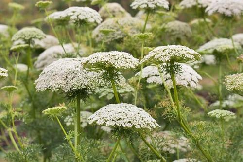 Plantpassion-Flowerona-Ammi-8