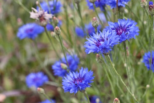 Plantpassion-Flowerona-Blue-Cornflower-7