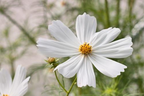 Plantpassion-Flowerona-Cosmos-2