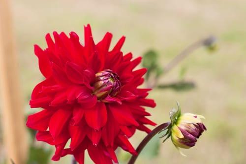 Plantpassion-Flowerona-Dahlia-3