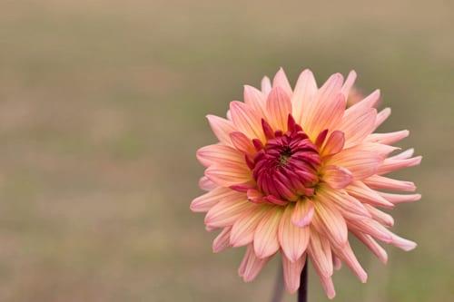 Plantpassion-Flowerona-Dahlia-4