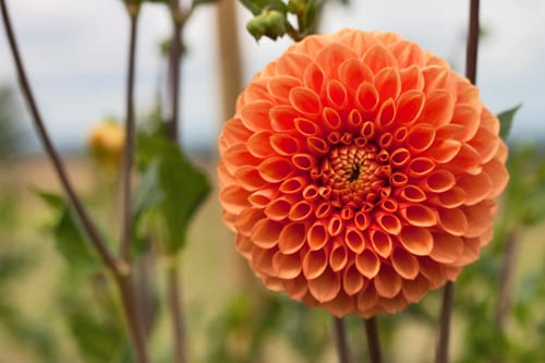 Plantpassion-Flowerona-Dahlia-5