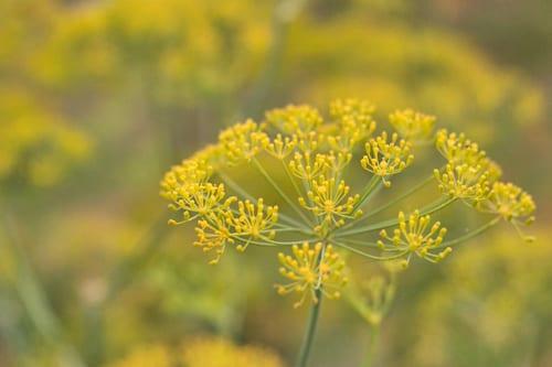 Plantpassion-Flowerona-Dill-10