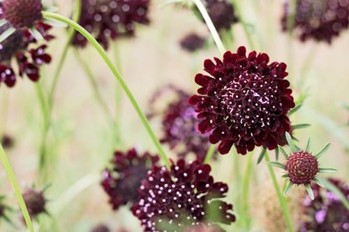 Plantpassion-Flowerona-Field-Scabious-11