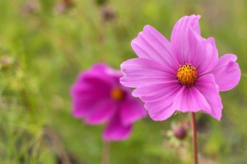Plantpassion-Flowerona-Pink-Cosmos-6