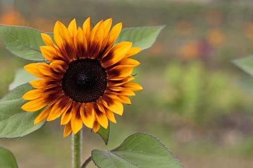 Plantpassion-Flowerona-Sunflower-12