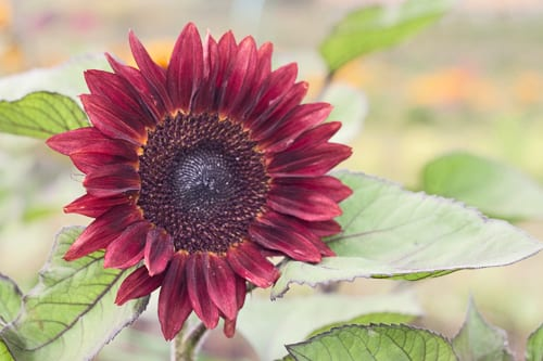 Plantpassion-Flowerona-Sunflower-13