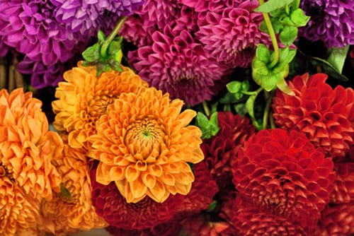 Flowerona Reflects: dahlias & discussions