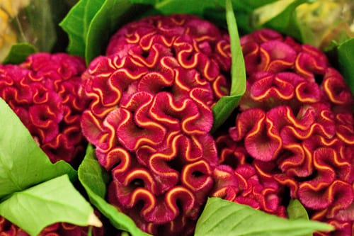 Celosia-New-Covent-Garden-Flower-Market-Flowerona