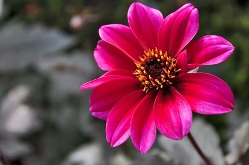 Garden Flowers: Dahlias…adding a splash of colour to your borders