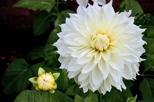 Dahlia-Fleur-Flowerona