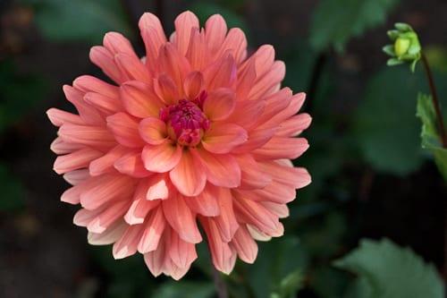 Dahlia-Geerlings-Cupido-Flowerona