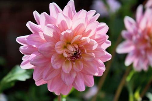 Dahlia-Gerry-Hoek-Flowerona