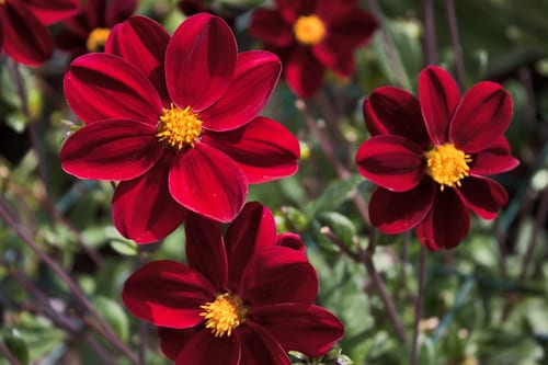 Dahlia-Mexican-Black-Flowerona