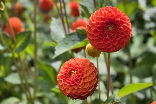 Dahlia-Oakwood-Dazzle-Flowerona