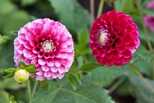 Dahlia-Wild-Primrose-Flowerona