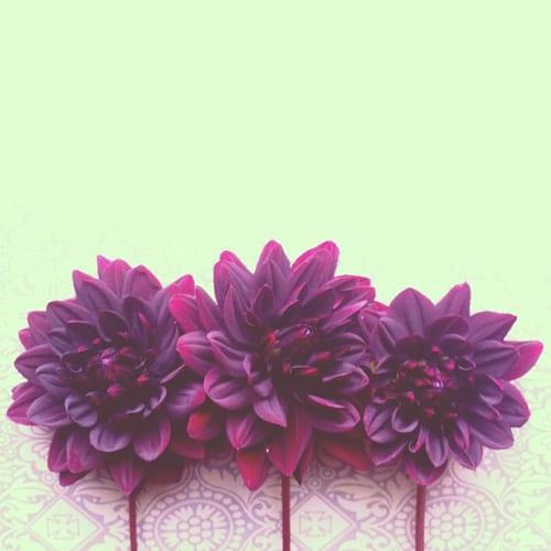 Dahlias-Flowerona