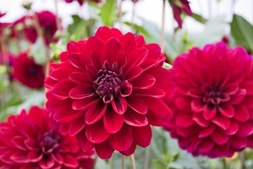 Green-&-Gorgeous-Flowerona-12-Dahlias