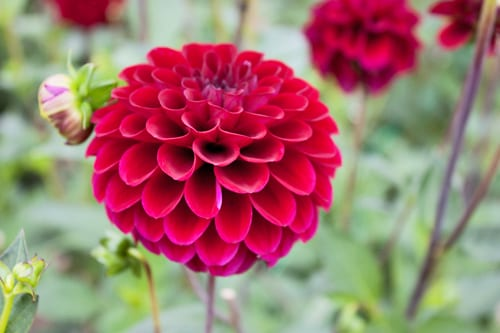 Green-&-Gorgeous-Flowerona-16-Dahlias