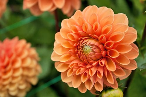 Green-&-Gorgeous-Flowerona-9-Dahlias