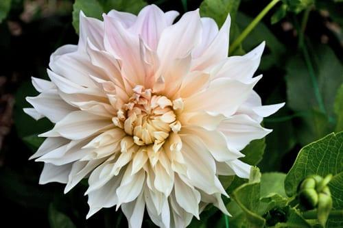 Green-&-Gorgeous-Flowerona-Cafe-au-Lait-Dahlia-4