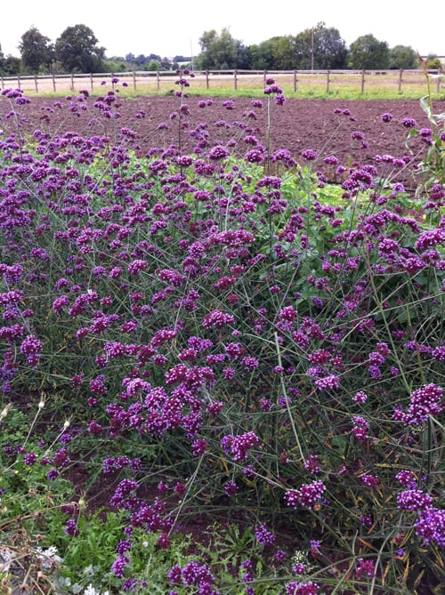Flowerona Reflects: verbena & voting